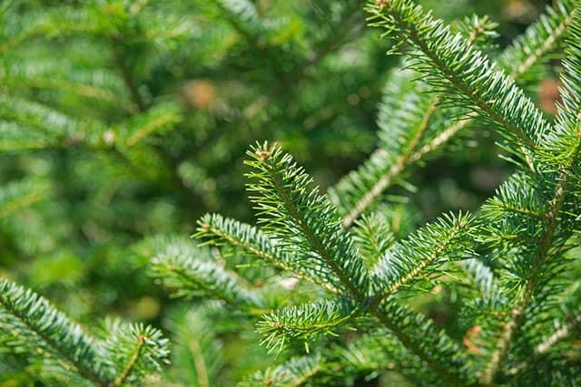 Balsam Fir Plant