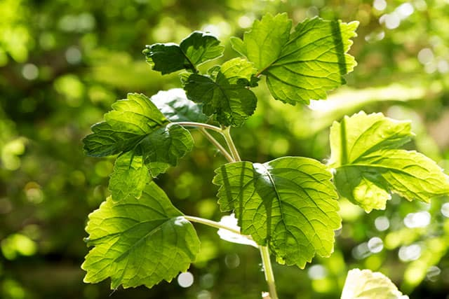 Patchouli plant for Essential Oil