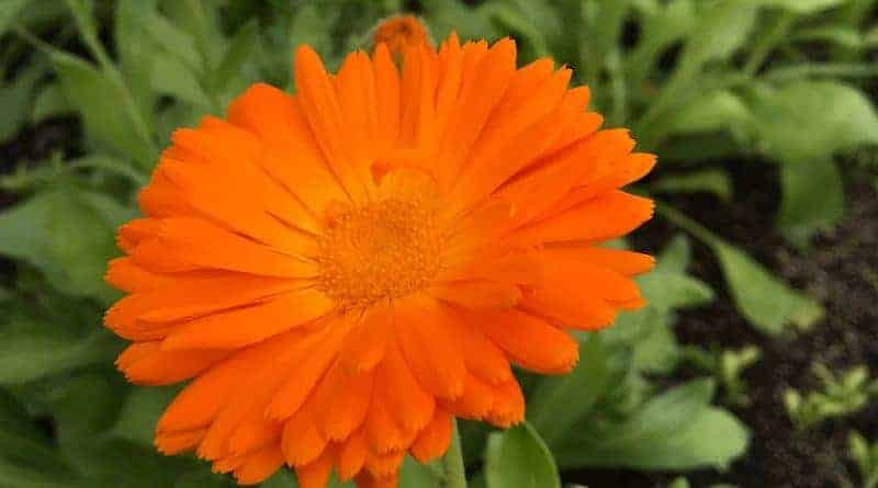 NEOB Calendula Flower